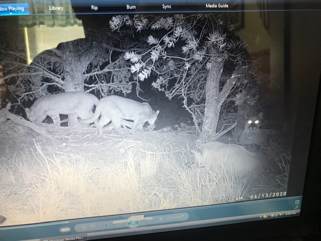 Name:  Lions 2.jpg Views: 156 Size:  94.5 KB